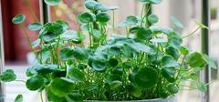 铜钱草怎么养,才能生长旺盛?