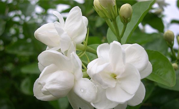 茉莉花的养殖方法