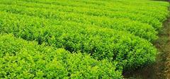 金叶女贞养殖,如何降低病虫害?
