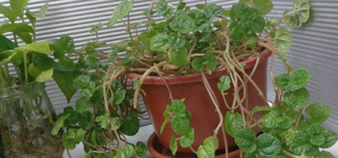 吸毒草是如何养殖的?