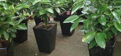 平安树的养殖方法和注意事项,一起学习一下!