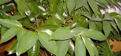 平安树的养殖方法和注意事项有哪些?