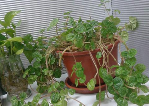 吸毒草的养殖方法