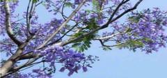 蓝花楹的花语和主要价值