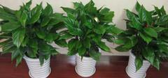 有哪些植物是不适合摆放在室内的?