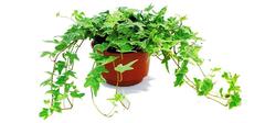 这些植物可以吸附甲醛 装修完了来两盆!