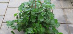 养殖吸毒草的技巧有哪些?