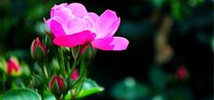 月季花的养殖技巧有哪些?