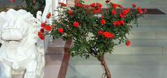 盆栽月季花是如何养殖的?