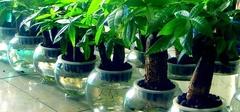 发财树的水培方法有哪些?