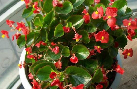 四季海棠养殖方法