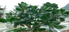平安树的养殖方法和注意事项 小编来告诉你