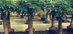 养殖招财树需要注意什么?