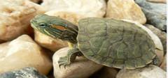 巴西龟怎么养 小编来告诉你