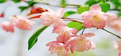 海棠花图片 海棠花的养殖方法