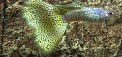 孔雀鱼品种有哪些?
