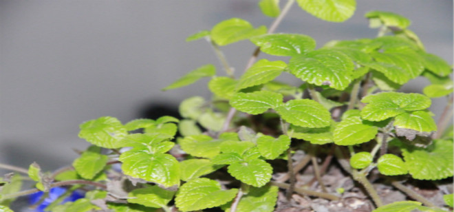 吸毒草的作用 吸毒草的养殖方法