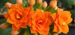 长寿花的种植技巧有哪些?