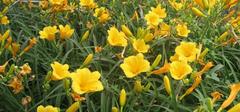 金娃娃萱草有哪些养殖方法?
