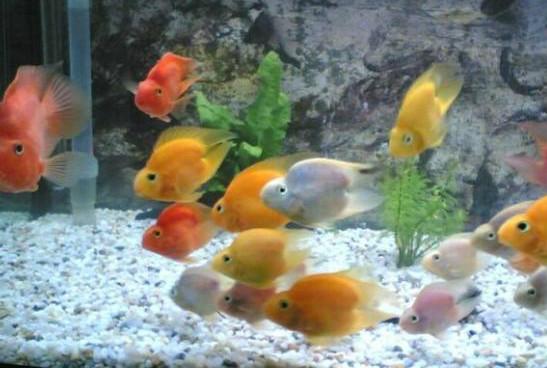 鹦鹉鱼养殖方法