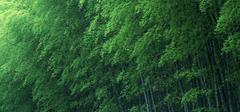 竹子的象征意义有哪些?