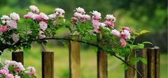 蔷薇花的种植方法有哪些?