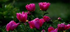 种植芍药花的窍门有哪些?