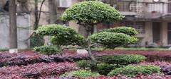 什么是景观树?风景景观树的作用