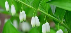 玉竹的功效与作用有哪些?你知道吗?