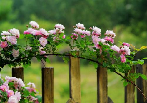 蔷薇花效果图