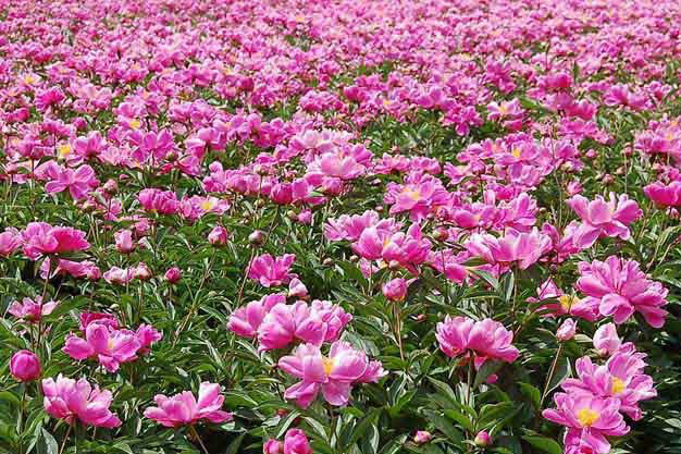 芍药花的养殖方法