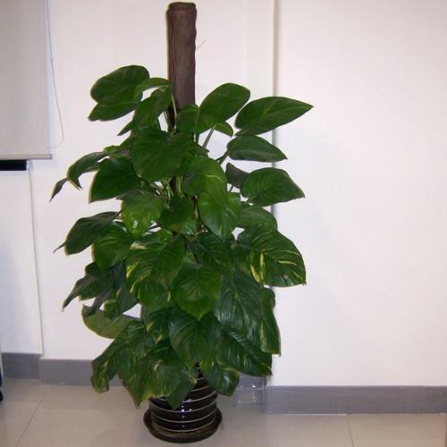 适宜放在家中的植物