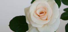 香槟玫瑰的种植技巧有哪些?