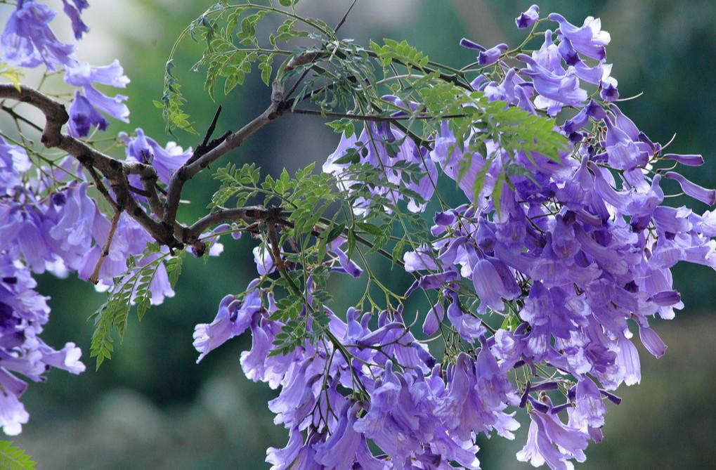 蓝花楹的种植方法