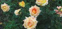 香槟玫瑰如何养殖?