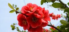 海棠花图片   海棠花如何养殖?