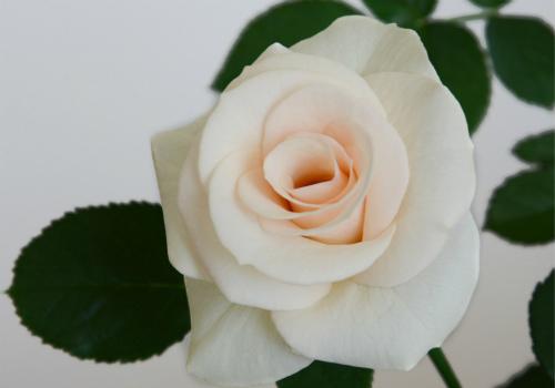 香槟玫瑰效果图