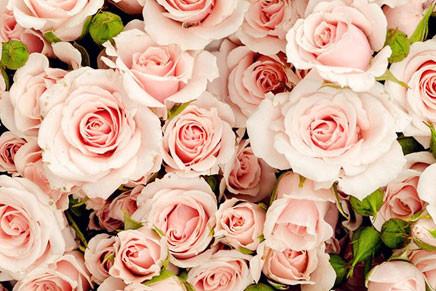 香槟玫瑰的养殖方法