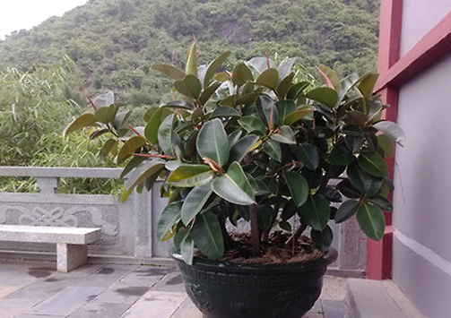 橡皮树有毒吗