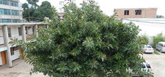 橡皮树有毒吗,橡皮树的作用