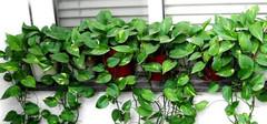 绿萝可以放卧室吗,绿萝的养殖方法和注意事项