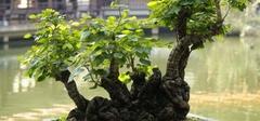 榕树盆景怎么养,需要掌握这几个技巧!