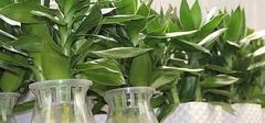 富贵竹怎么水养?