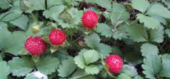 蛇莓有毒吗,蛇莓的药用价值