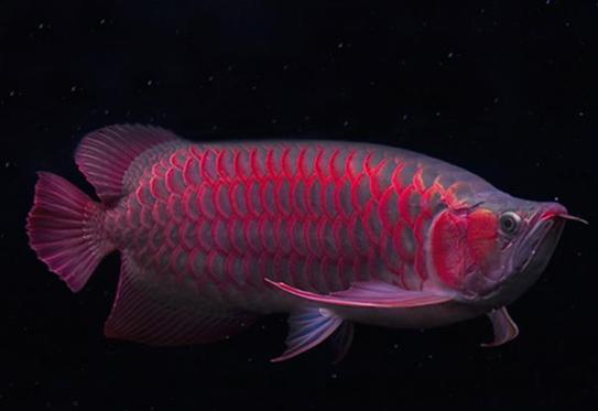红龙鱼价格介绍