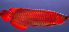 红龙鱼价格介绍,喂养与摆放风水!