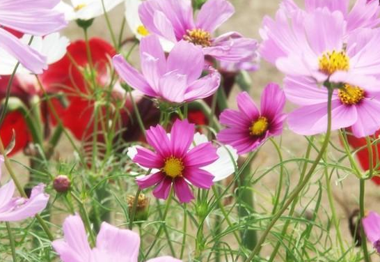 波斯菊药用与观赏价值