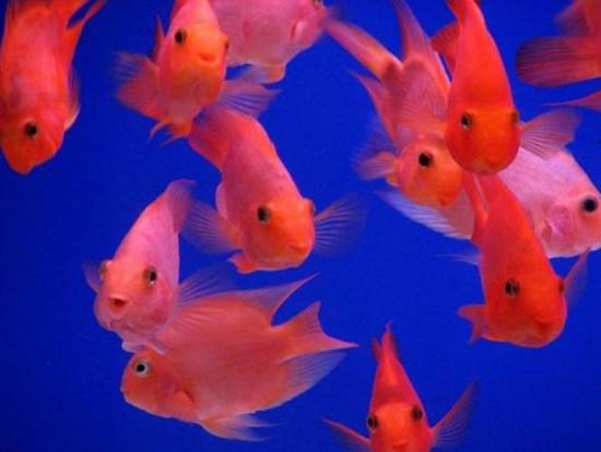 鹦鹉鱼水温