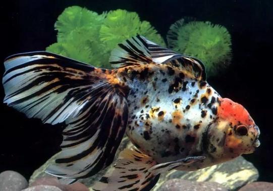 草金鱼入门品种
