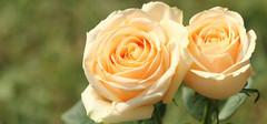 香槟玫瑰花语是什么,不同数量代表的花语介绍